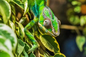 Chameleon watching you.